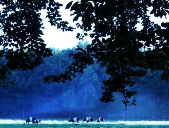 Foto uit de cursus fotografie basis: heiige koeien in het veld