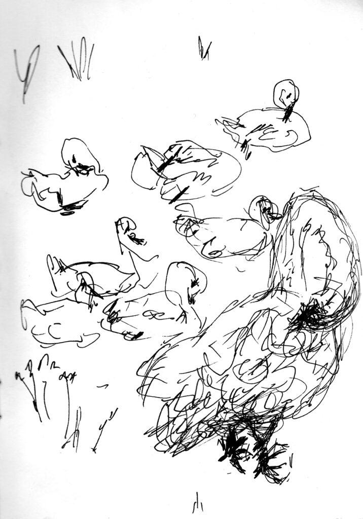 Opgroeiende zwanenkuikens - Katelijne Brouwer